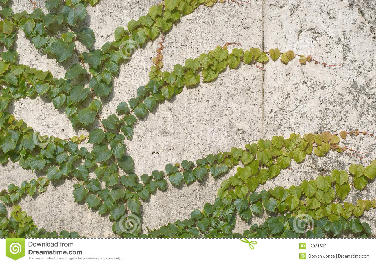 Climbing Vines Of Ivy Stock Photo. Image Of House, Ornate