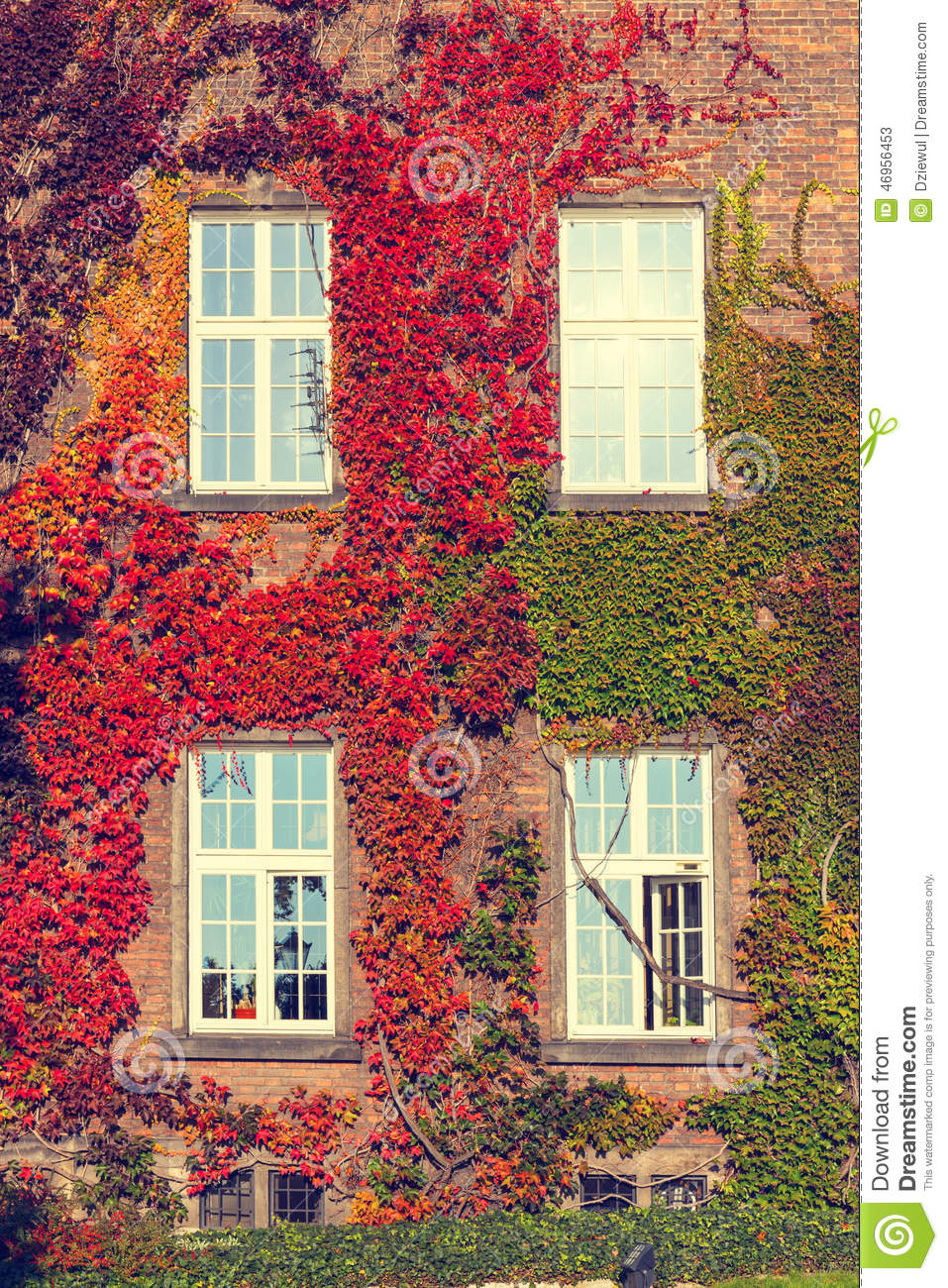 Vines leaves on house stock image for The ivy house