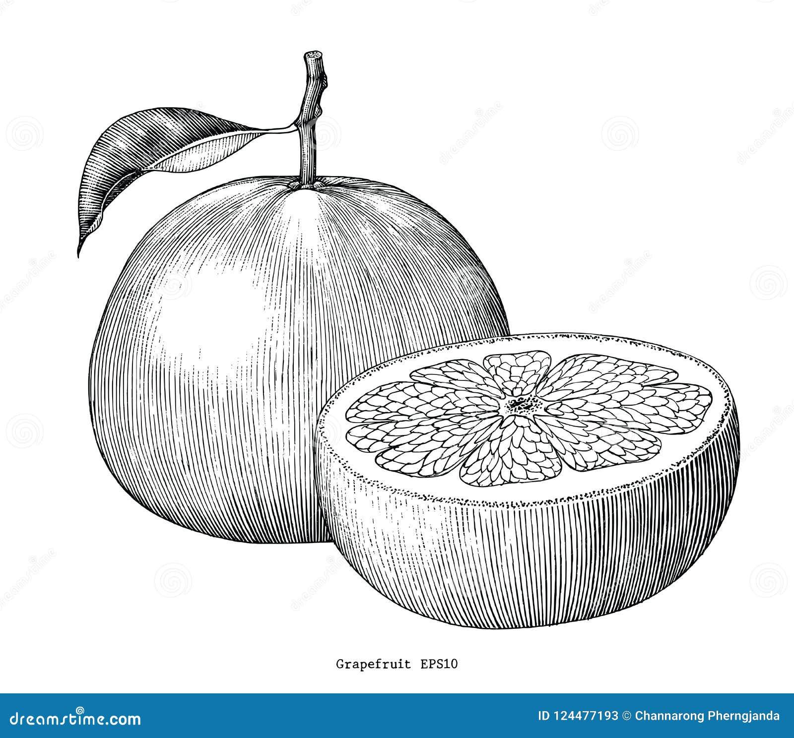 Clip art del vintage del drenaje de la mano de la colección del pomelo aislado en whi