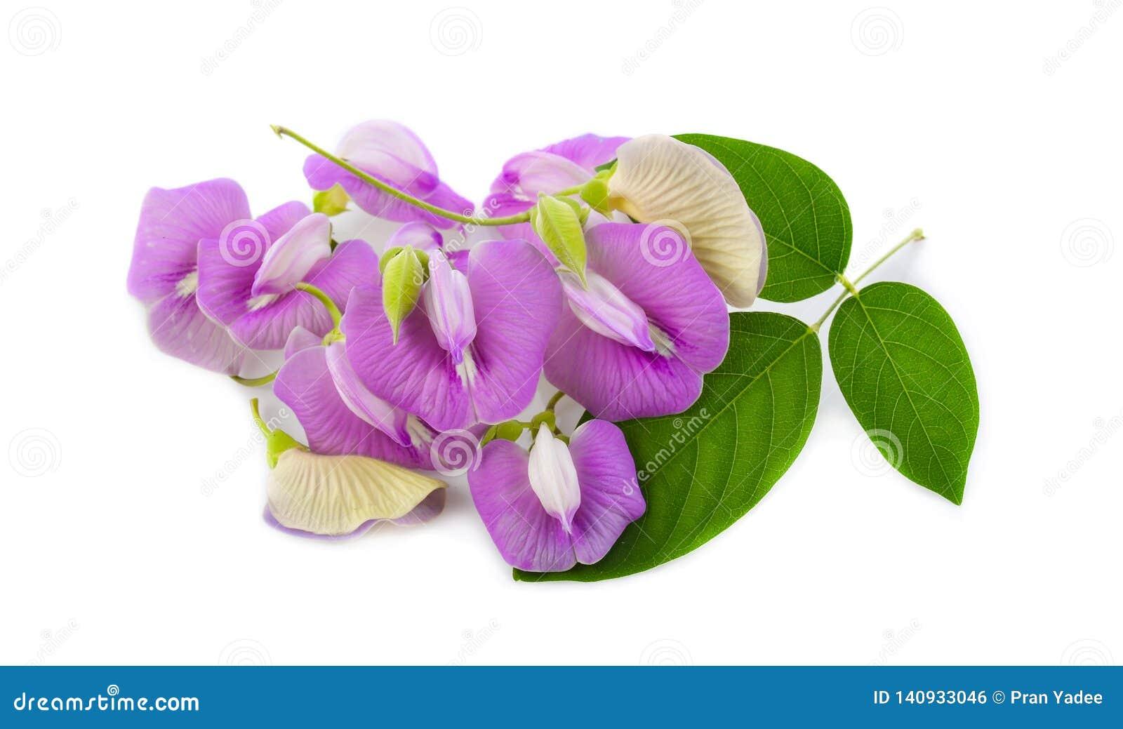 Clitoria ternatea或在白色背景隔绝的Aparajita花