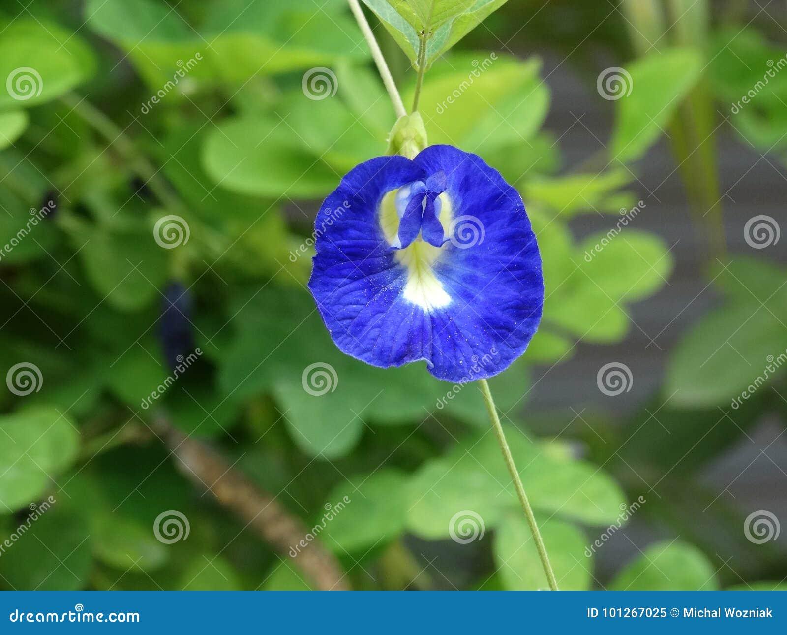 Clitoriaternatea eller blomma för fjärilsärta