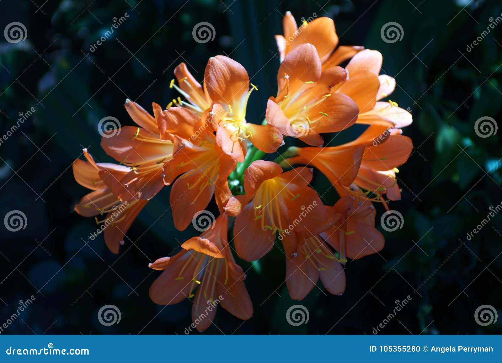 Clivia anaranjado en Pretoria, Suráfrica