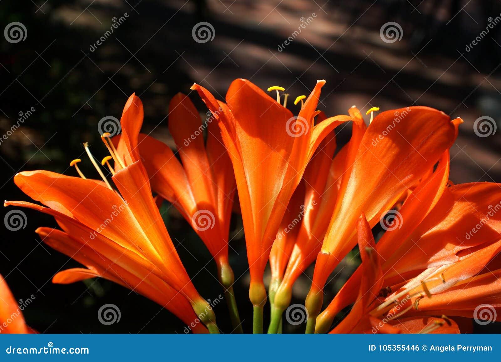 Clivia arancio a Pretoria, Sudafrica