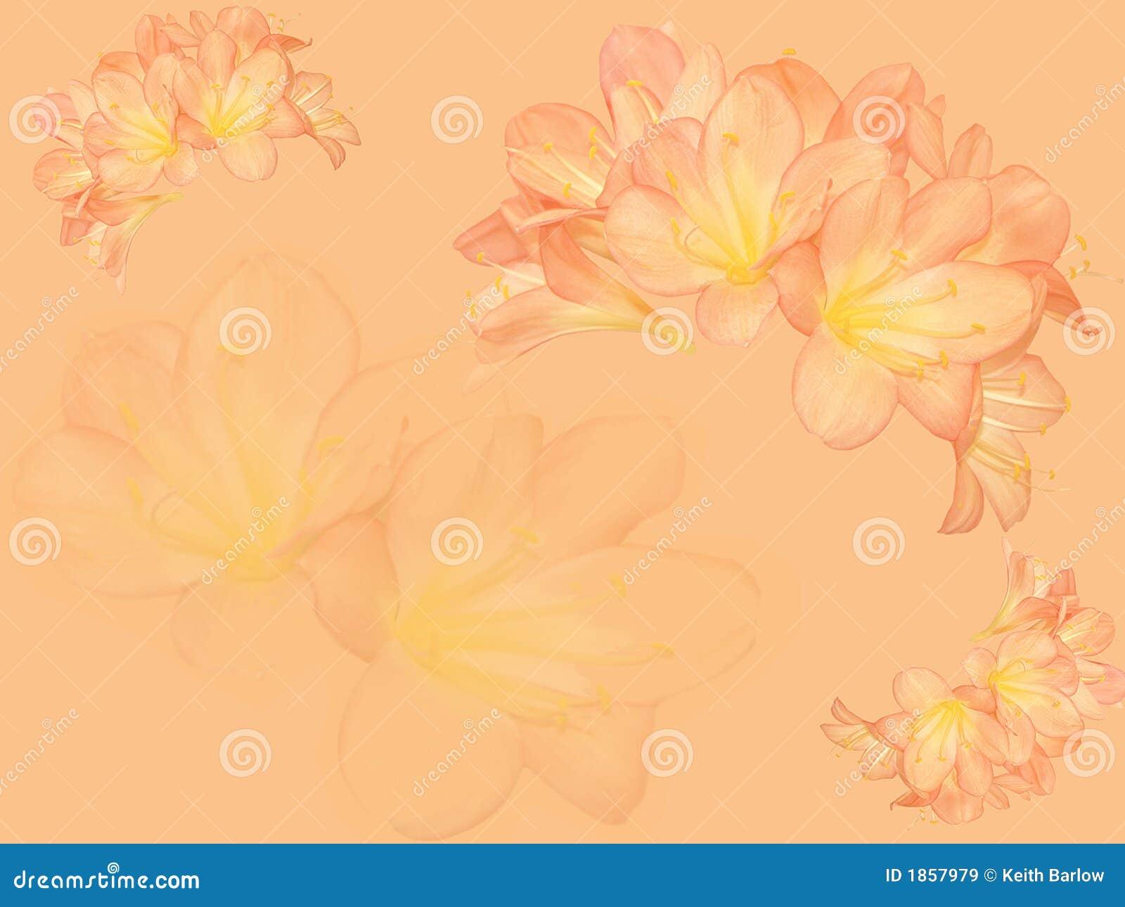 Clivia tła kwiat