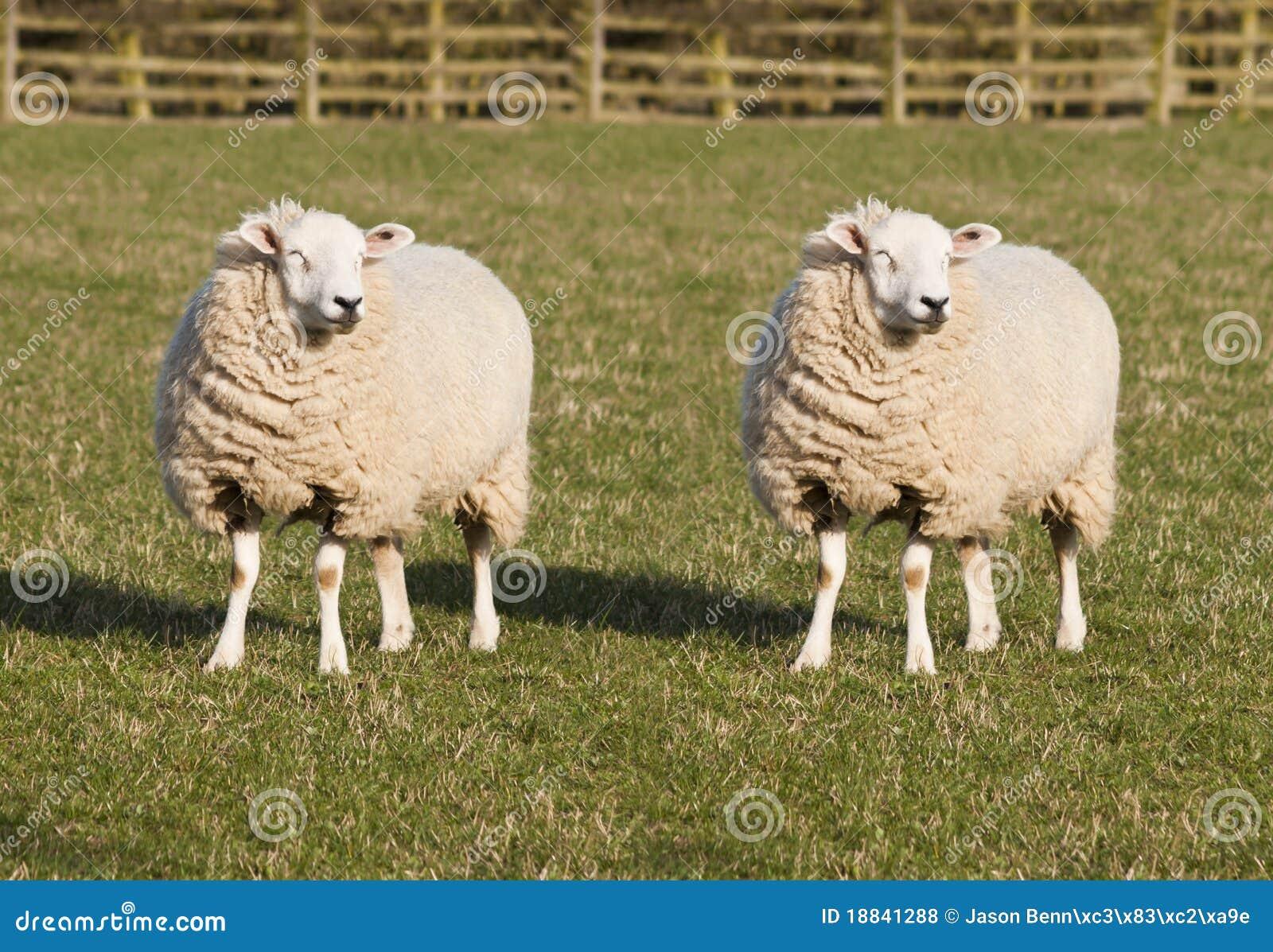 Clonage de moutons photo stock image du biologie ferme - Photos de moutons gratuites ...