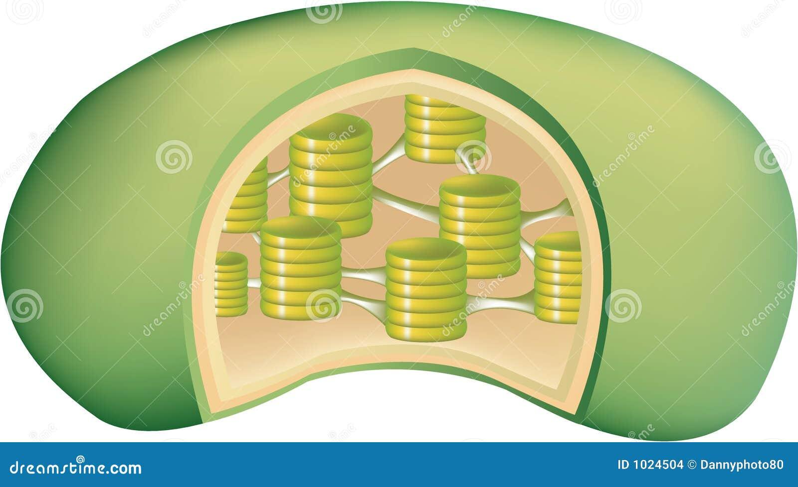 Cloroplasto Illustrazioni Vettoriali E Clipart Stock 255 Plant Cell Anatomy Vector Image 43912193 1 Della Pianta 2 Illustrazione Di