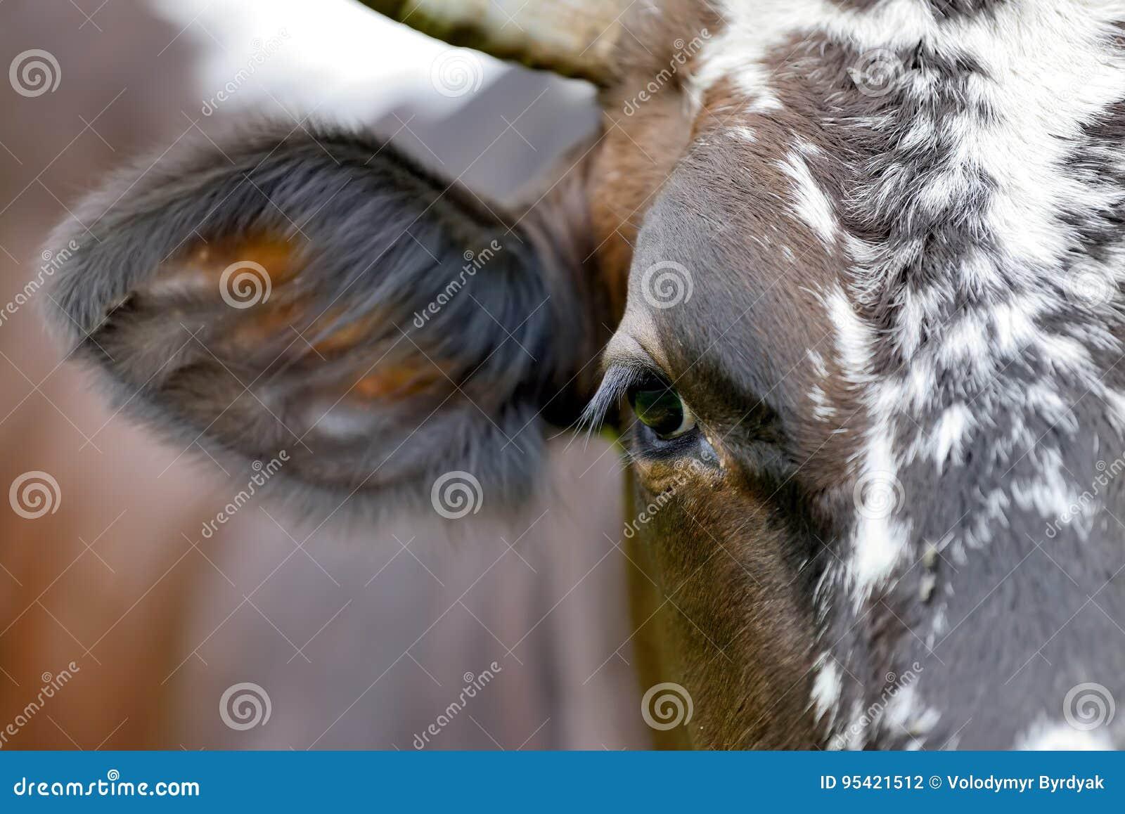 Close Cow Eye Stock Photo Image Of Head Bovine Camera 95421512