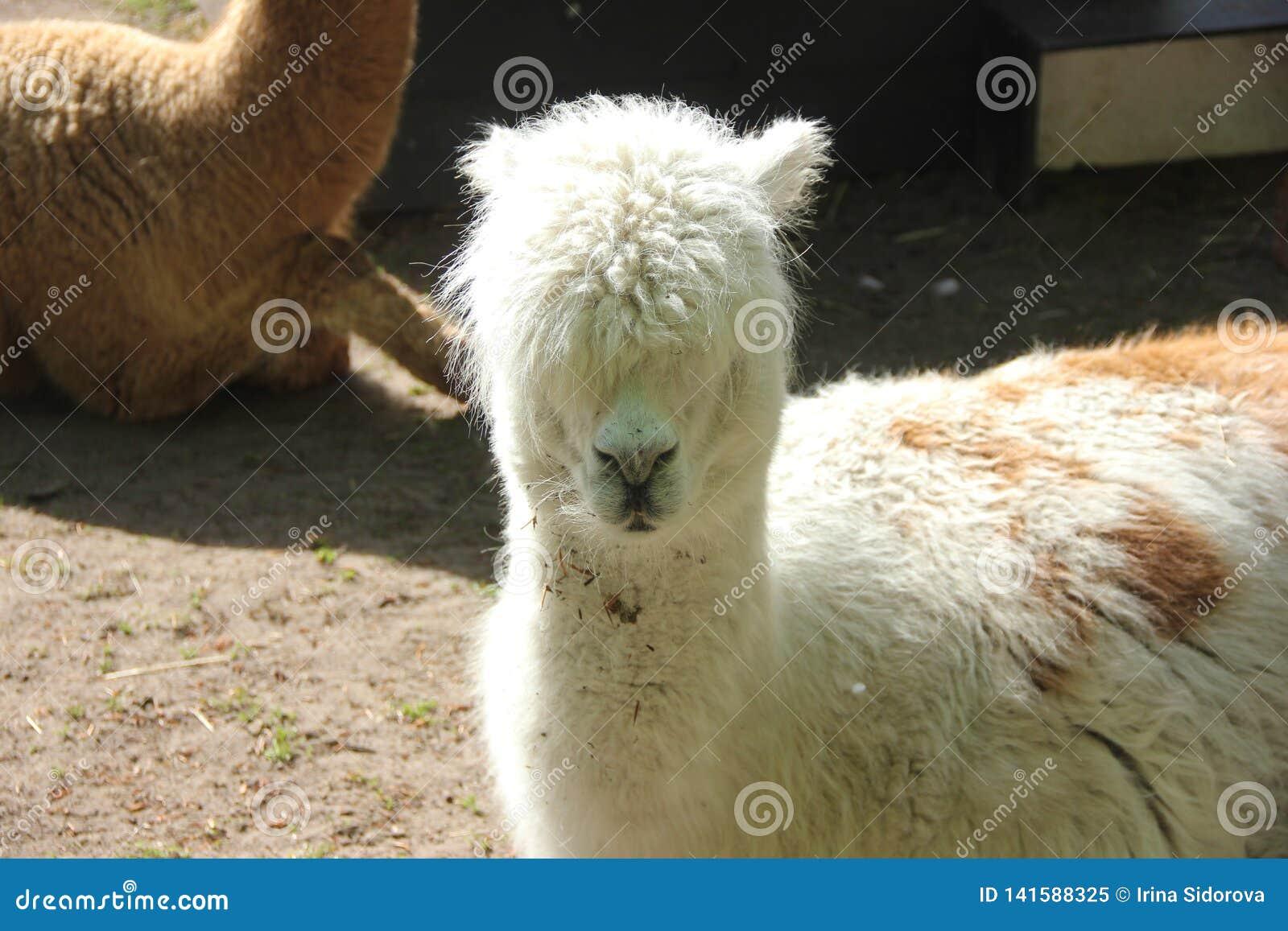 Close portrait of an alpaca with a long neck against a blue sky