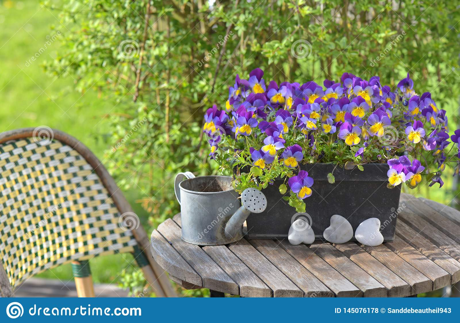 viola in a flowerpot on a garden table with a little watering can