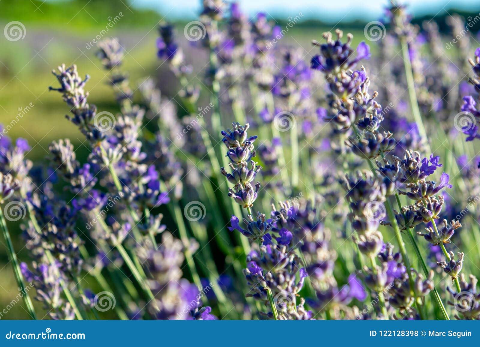 A close shot of a lavender plant