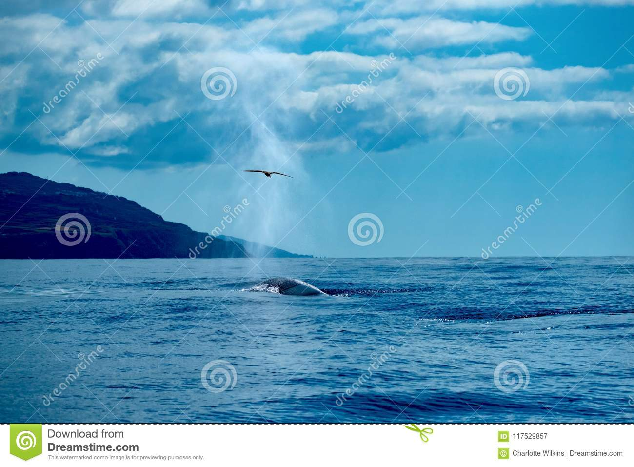 A fin whale surfaces catching a shearwater with its spout