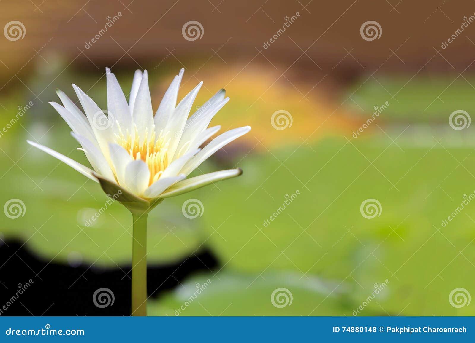 Close-up às plantas da flor de Lotus e da flor de Lotus