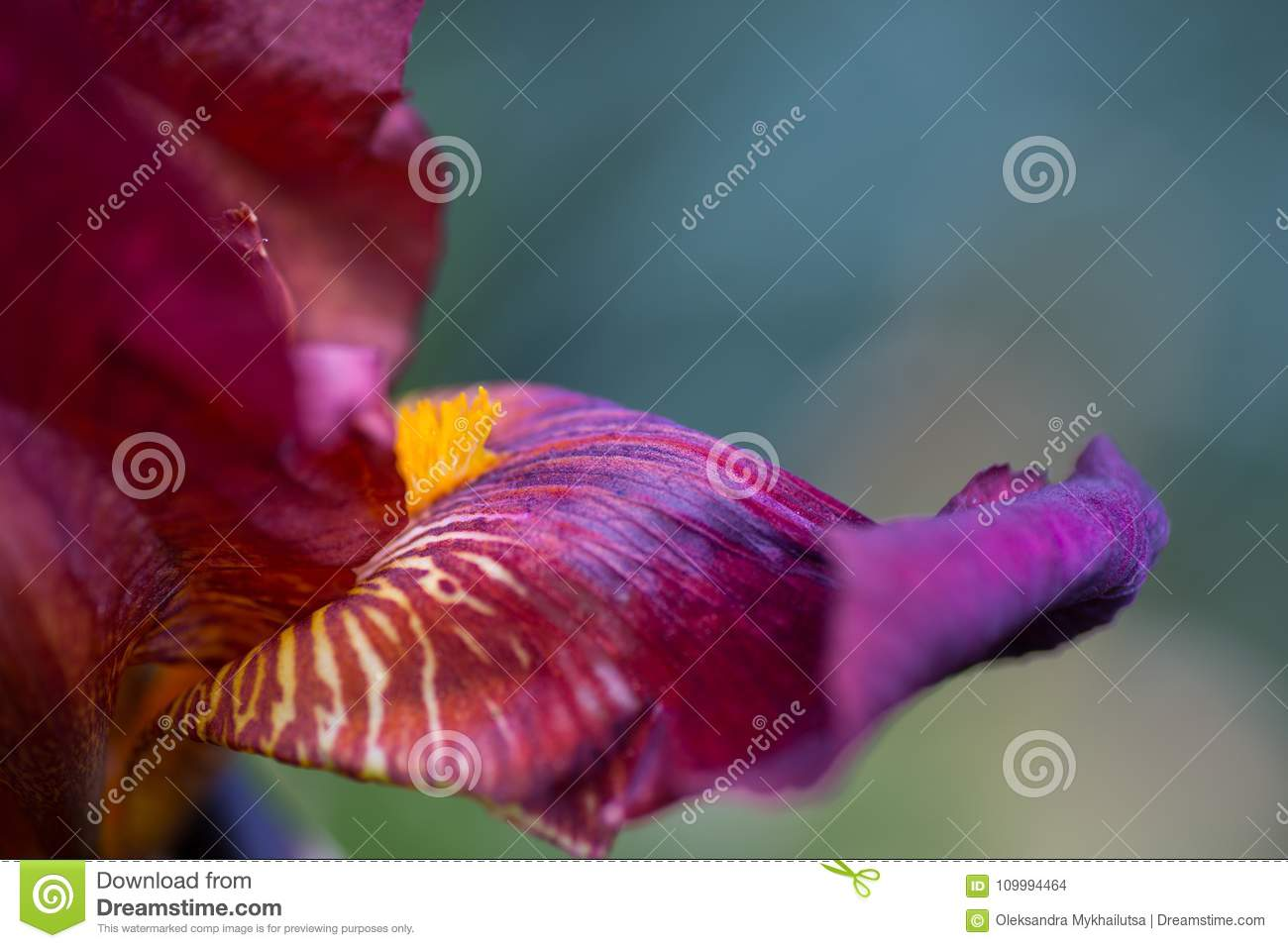 Close Up Abstract Image Of Dark Red Iris Flower Stock Photo Image