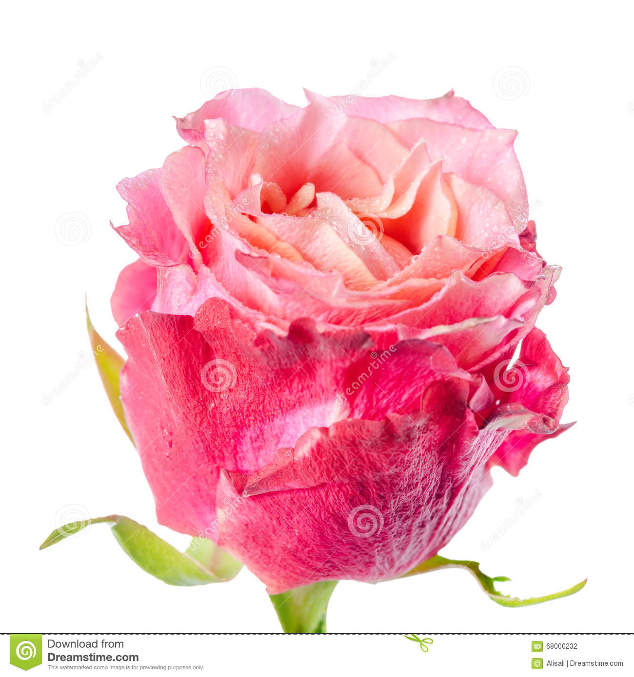 Close Up Of Abstract Romantic Beautiful Red And Pink Rose Flower