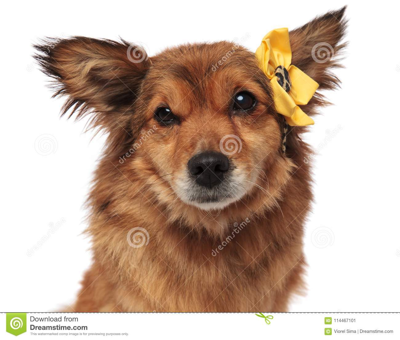 Close Up Of Adorable Brown Dog With Yellow Flower Headband Stock