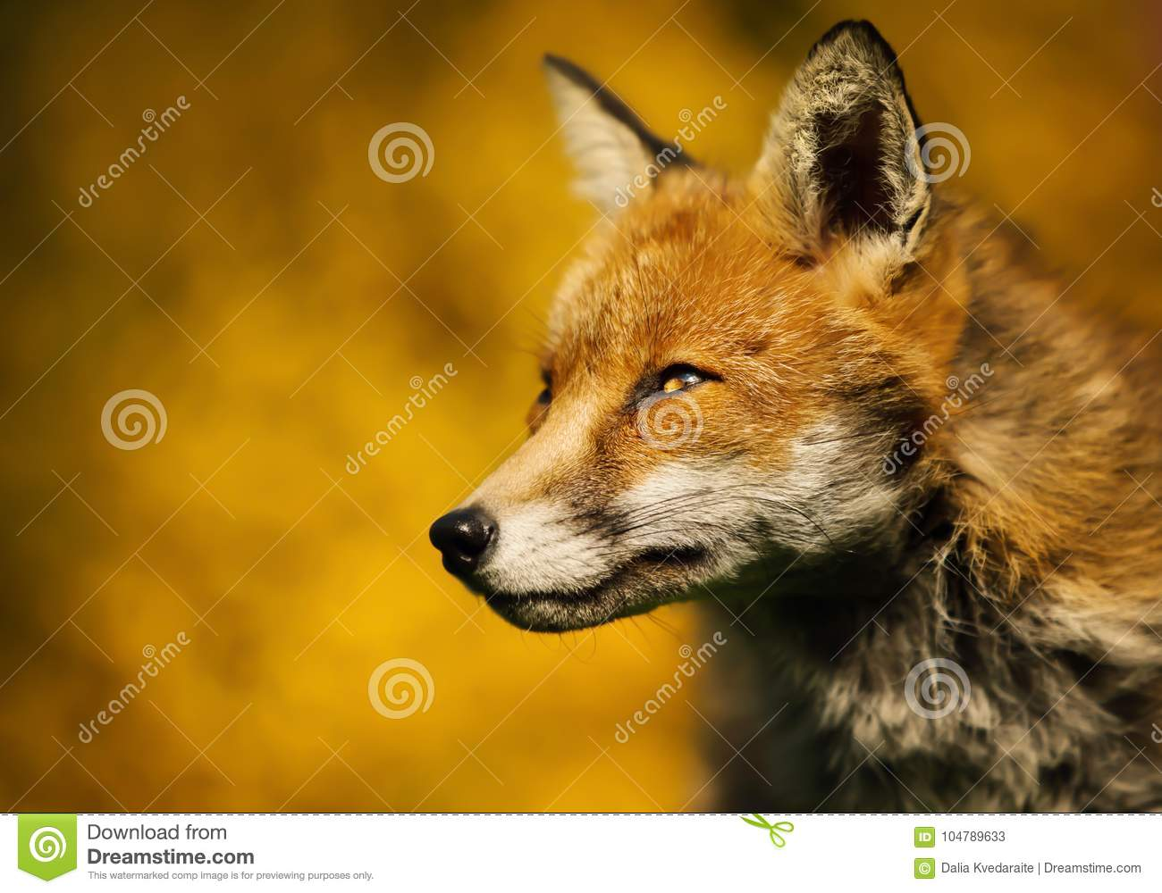 Adult red foxes