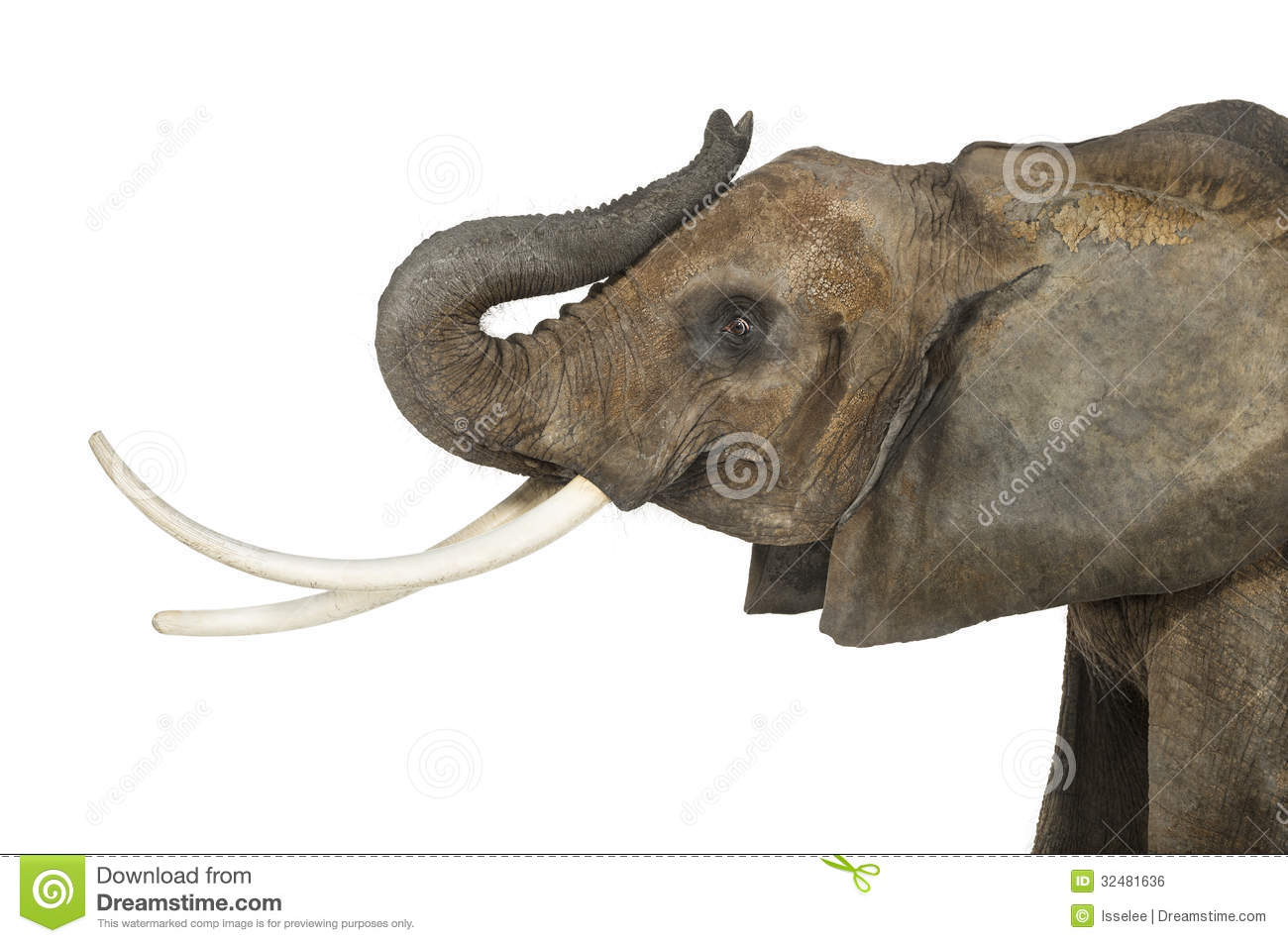 Close up of an African Elephant lifting its trunk  isolated on white African Elephant Drawing Trunk Up