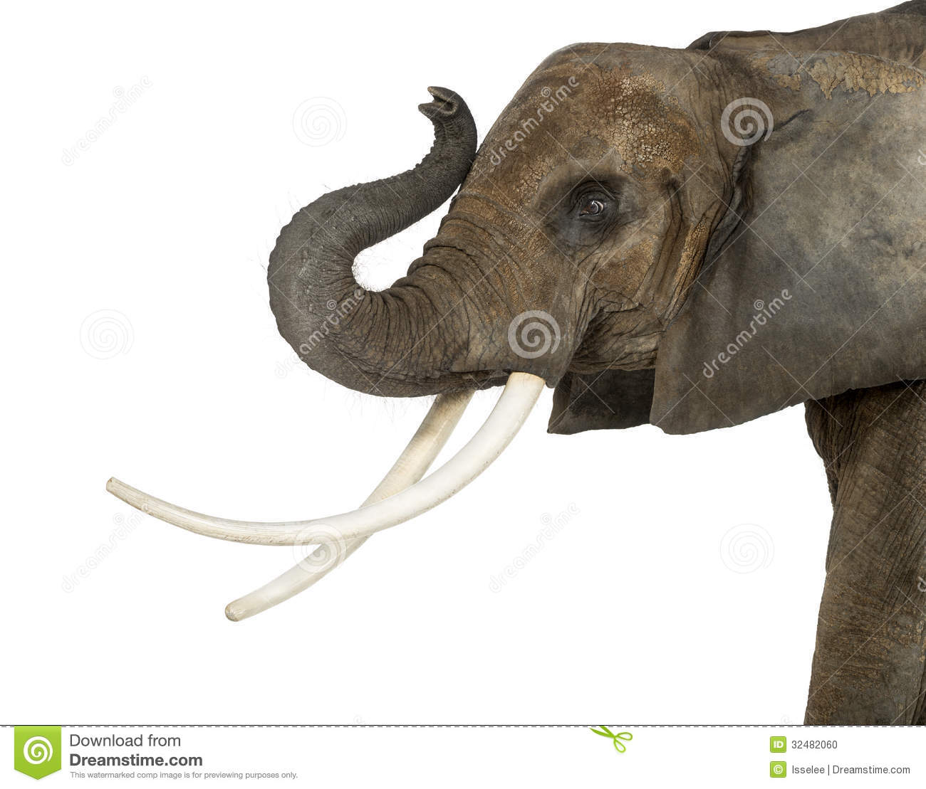 Photo  Close up of an African Elephant lifting its trunk  isolatedAfrican Elephant Drawing Trunk Up