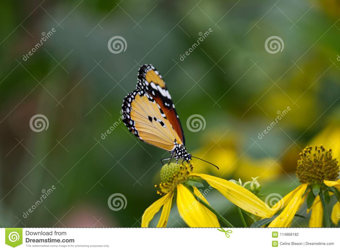 Close-up of an African Monarch Butterfly
