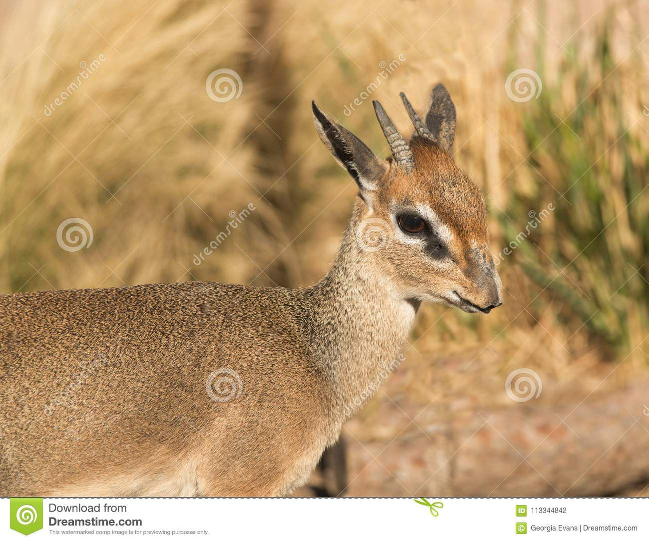 Close up africano pequeno do antílope do ` s Dik-Dik de Kirk em Serengeti de África