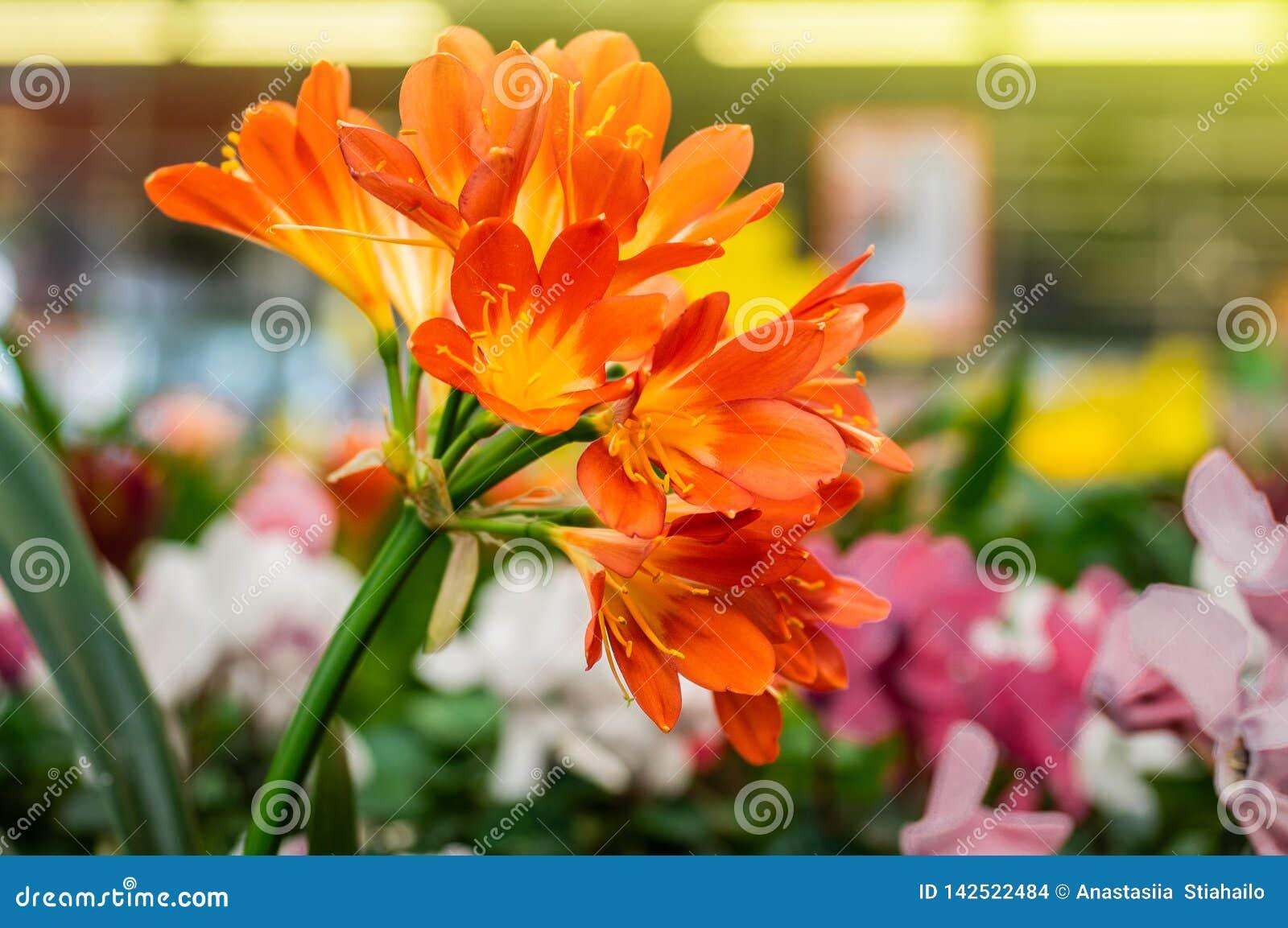 Close-up alaranjado da flor do miniata de Clivia na loja