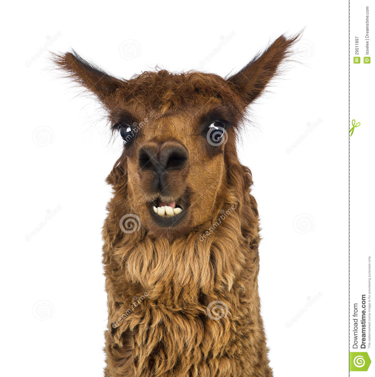 Close-up Of Alpaca Smiling Royalty Free Stock Photography - Image ...