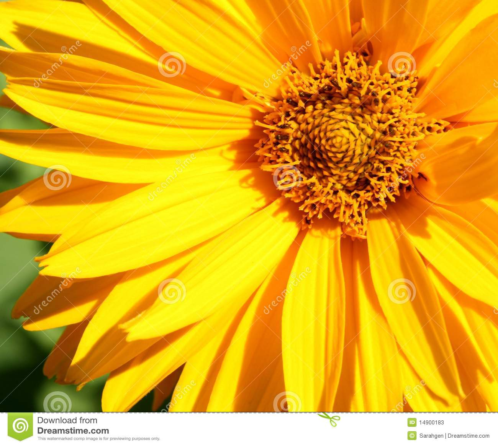 Close up amarelo da flor