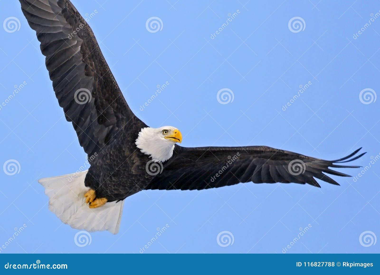Beautiful American Bald Eagle In Flight Focussed Stock Photo