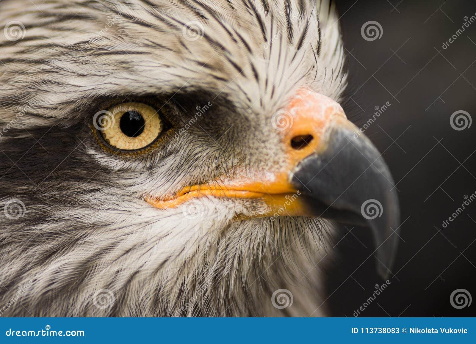 Eagle bird animal portrait