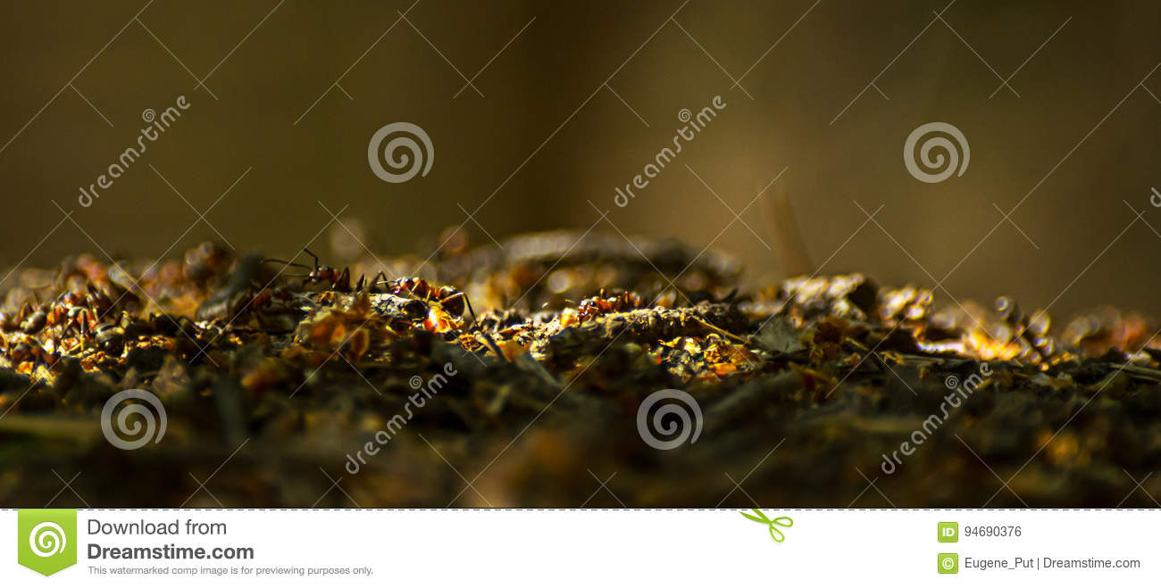 Close Up Of Ants Working At The Anthill In The Woods Stock Photo