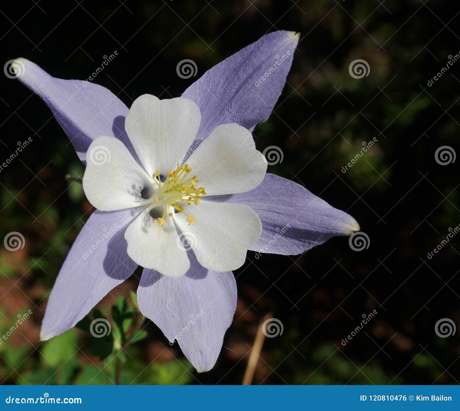 Close up aquilégia da flor na luz do sol