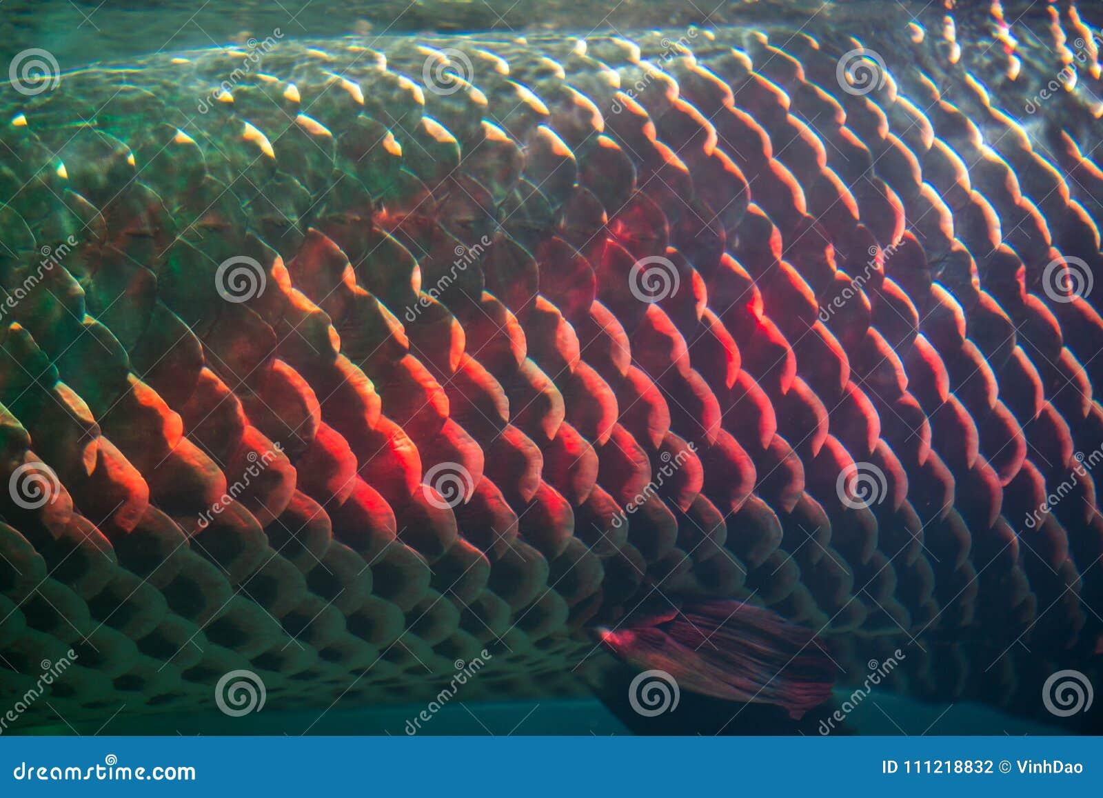 609fec4e9d9 Close Up Of Arapaima Fish Skin Or Arapaima Gigas Stock Photo - Image ...