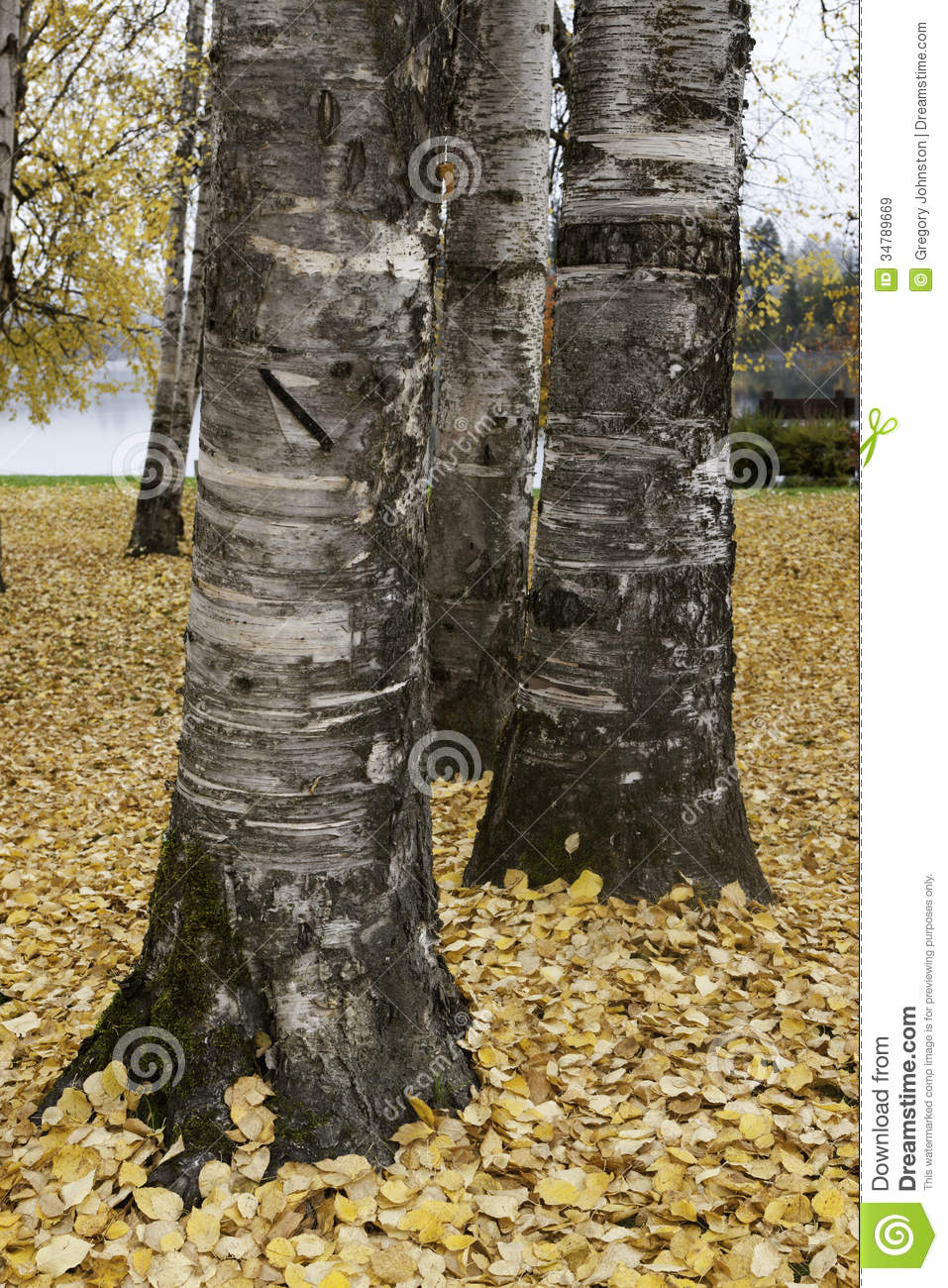 what is a tree trunk covered with 4 letters - close up of aspen tree trunk stock image image 34789669