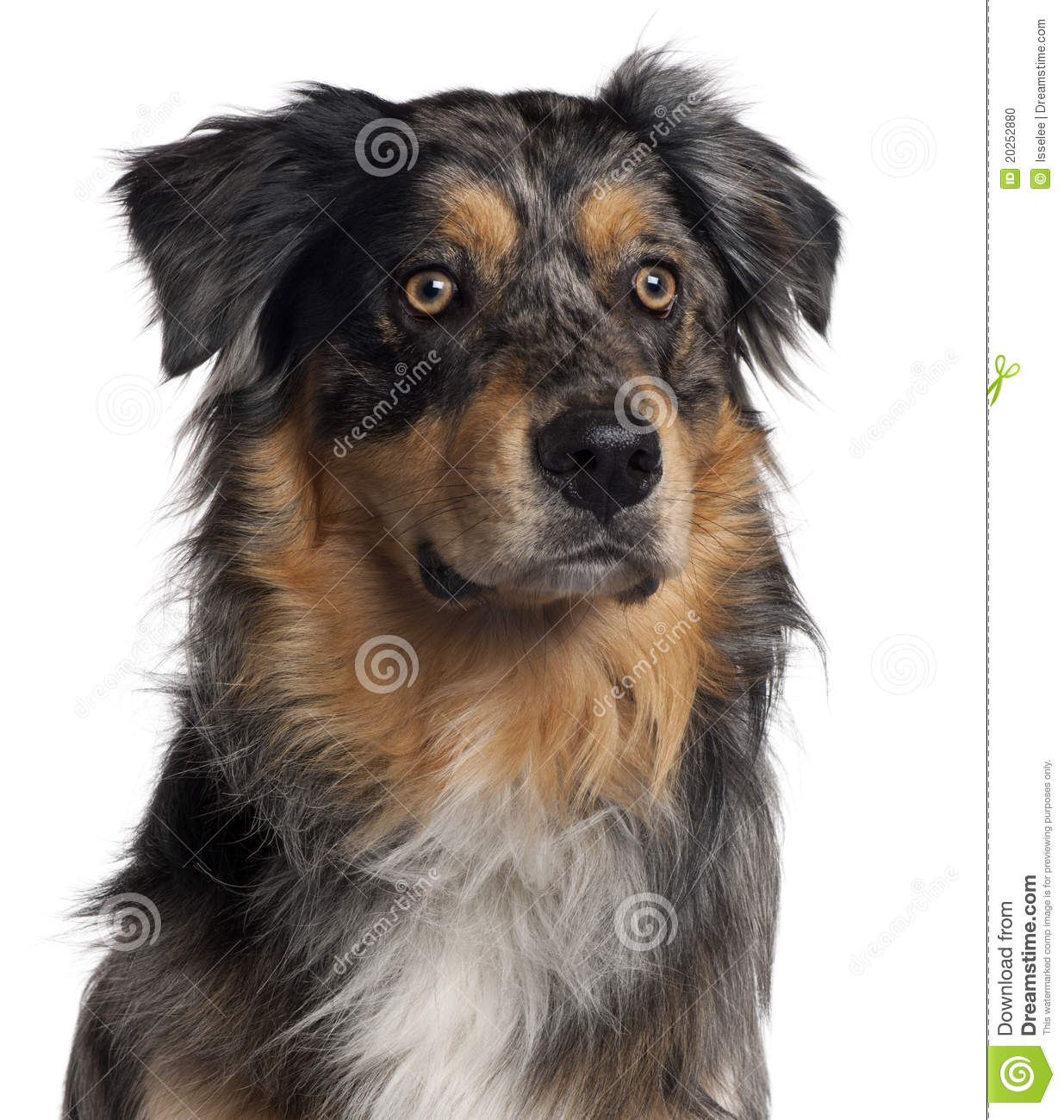 Close-up of Australian Shepherd dog, 6 months old, in front of white