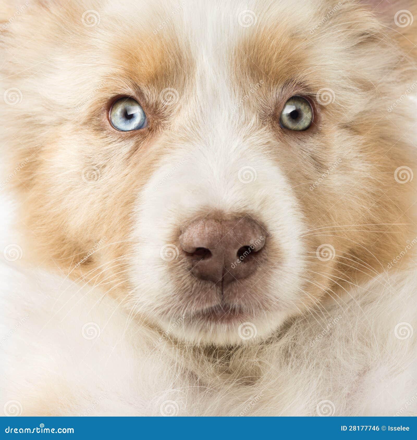 Close-up Of An Australian Shepherd Puppy Royalty Free Stock Image ...
