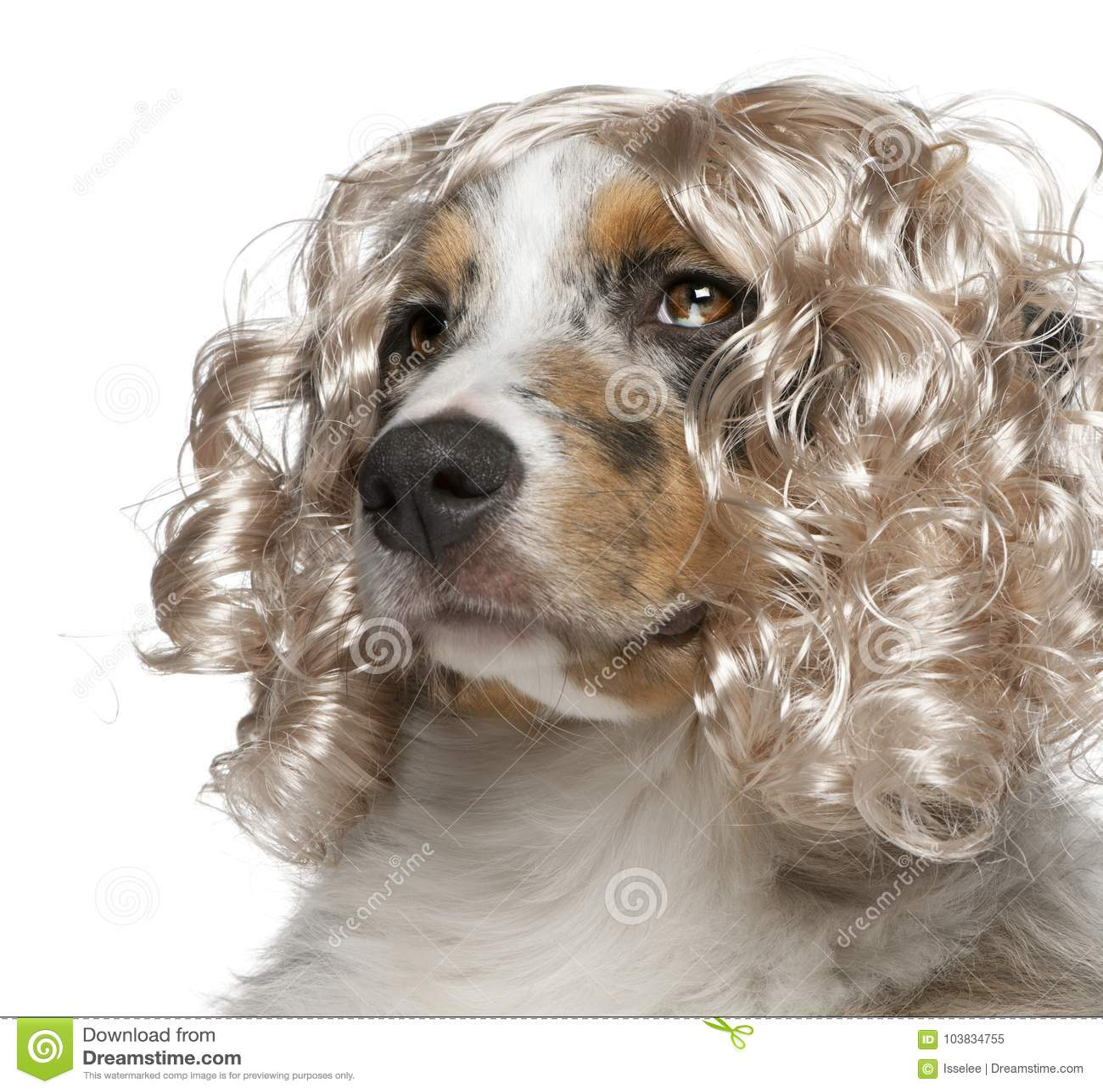 Close-up of Australian Shepherd puppy wearing a wig