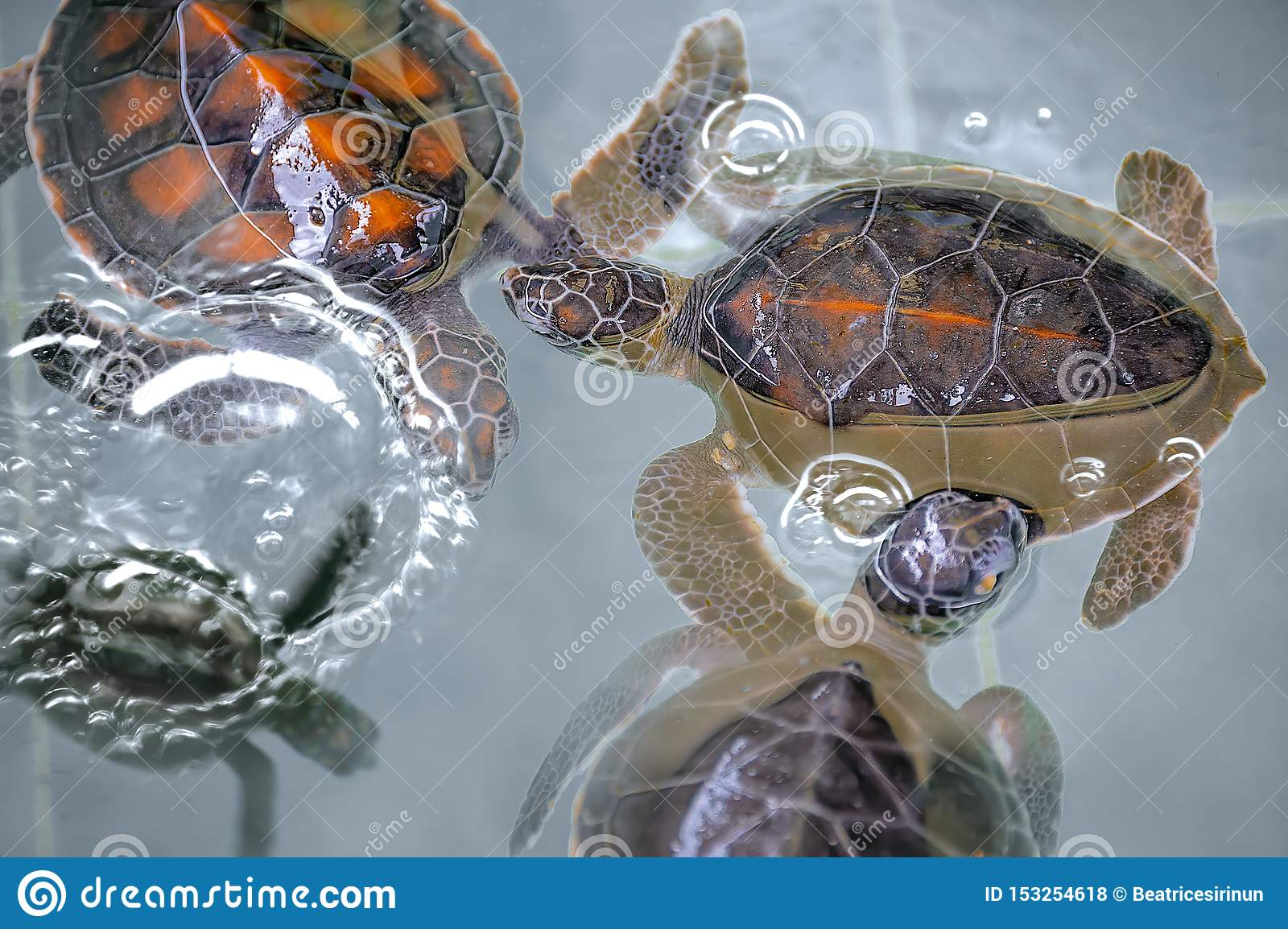 Close-up of baby Hawksbill sea turtles.