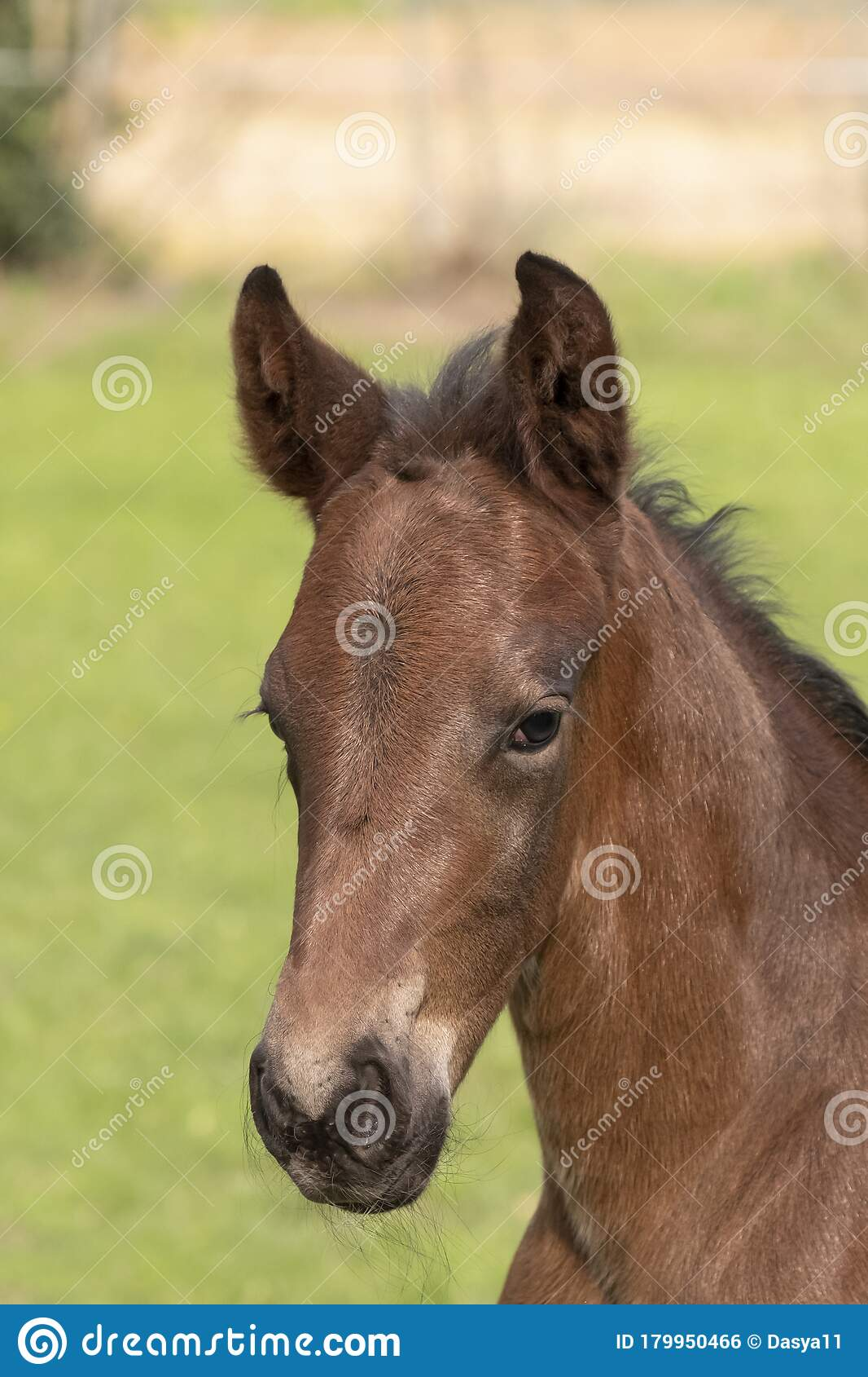 A Close Up Of A Baby Horse On Grass Background Foal Is Looking At Camera Stock Photo Image Of Equestrian Enjoy 179950466