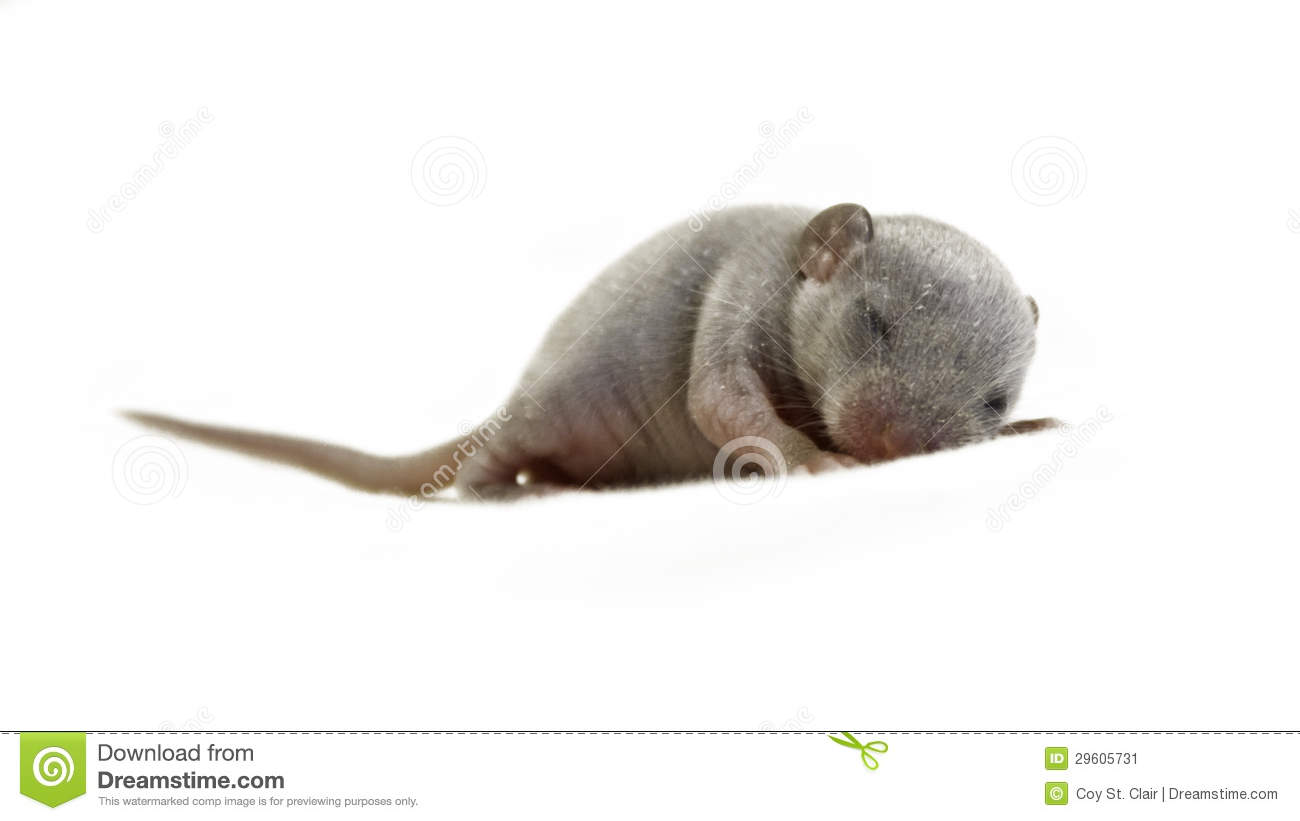 Close Up Of A Baby Mouse Sleeping Stock Image Image