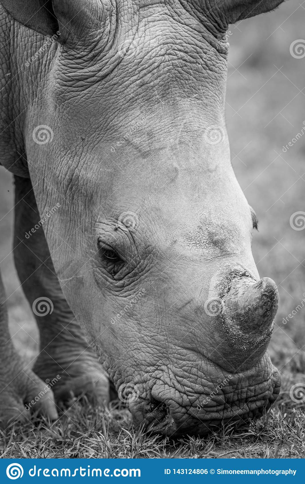 Close up of a baby White rhino