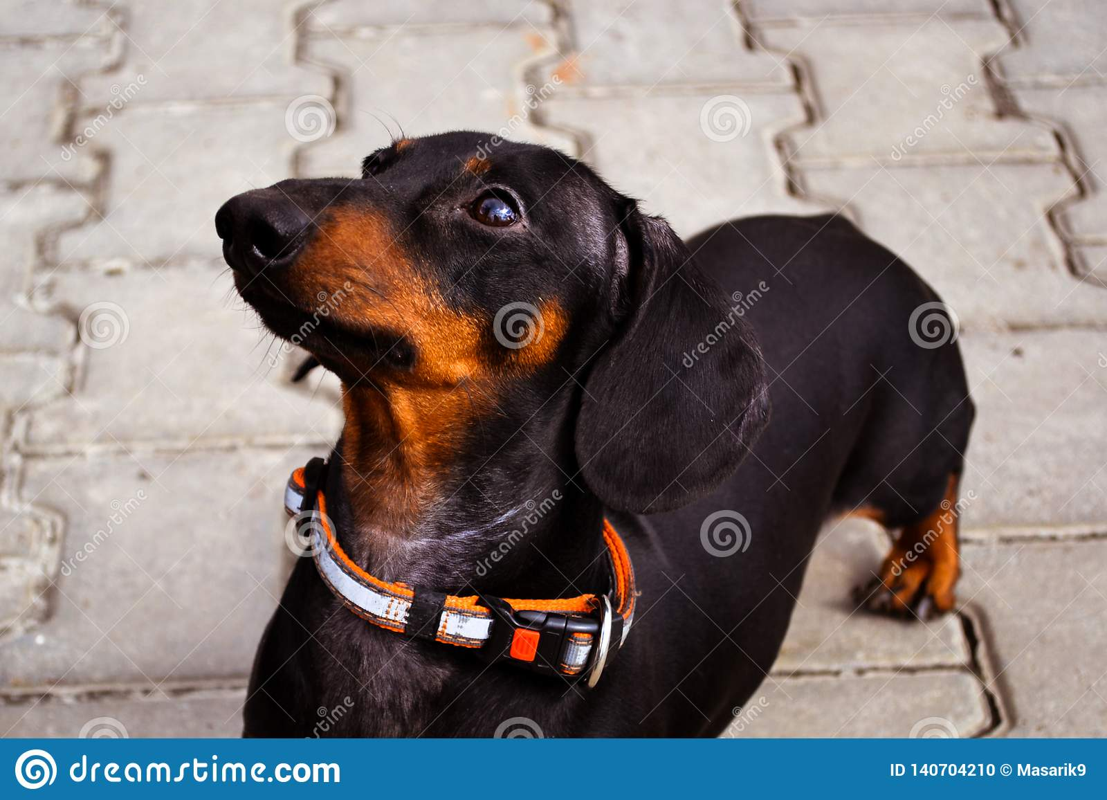 Portrait of a dog puppy of the breed dachshund black and tan on a stone tile background