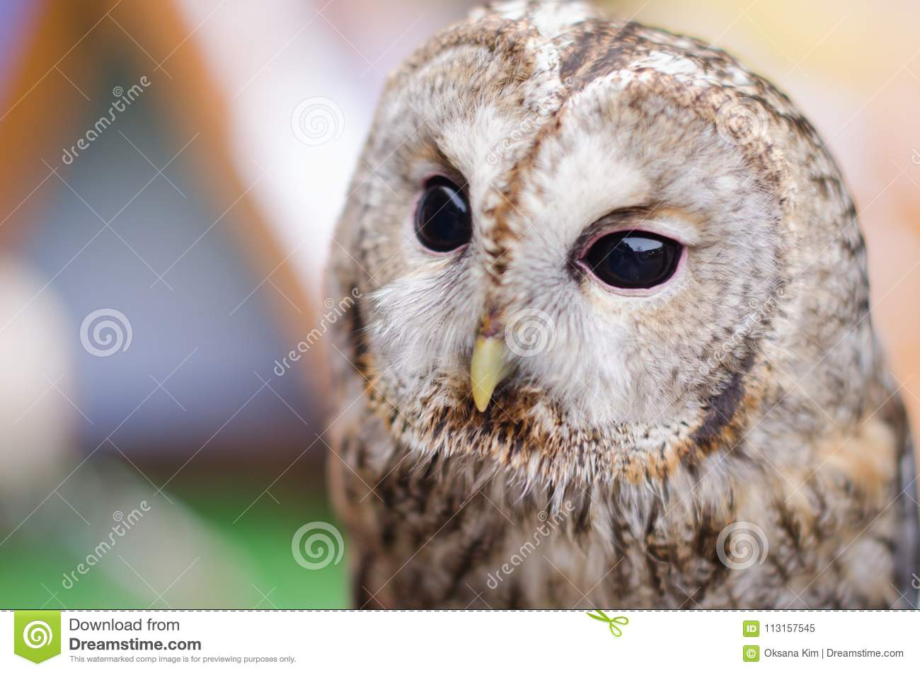 Close Up Of A Barn Owl With Black Grains Stock Image ...