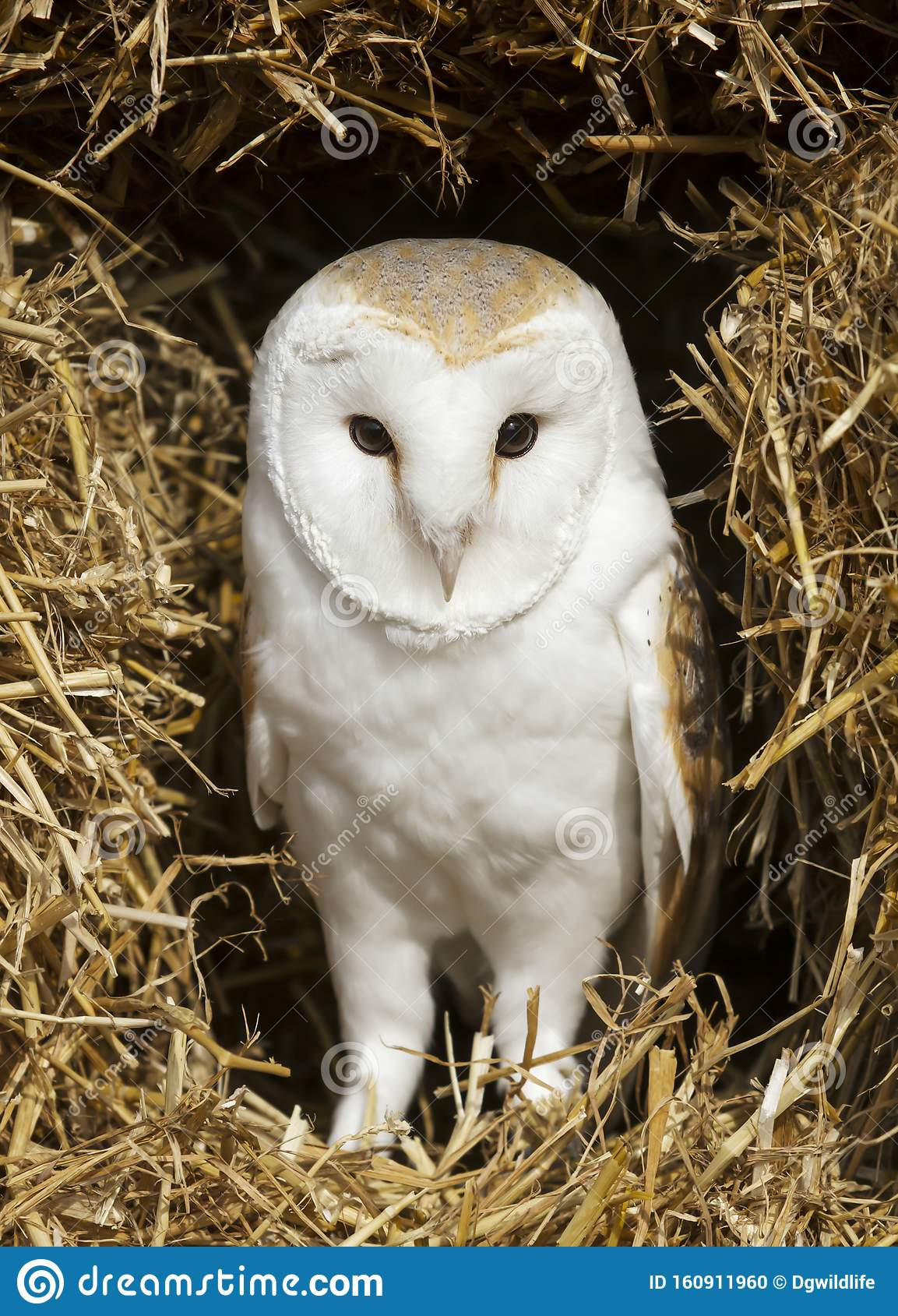 Close Up Of A Barn Owl Perched On Hay Stock Photo - Image ...