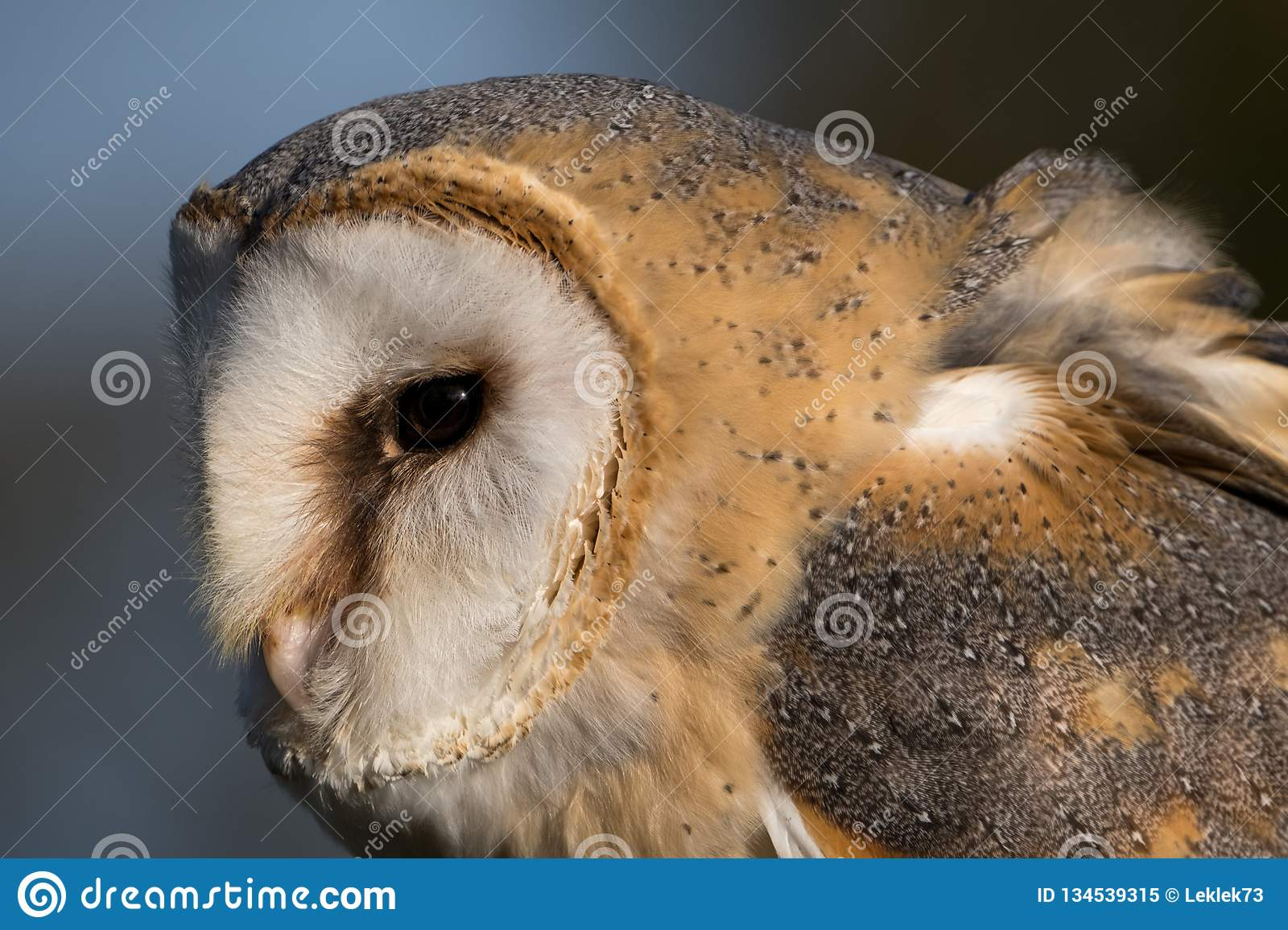 Close Up Of Barn Owl In Profile Showing Feathers, Beak And ...