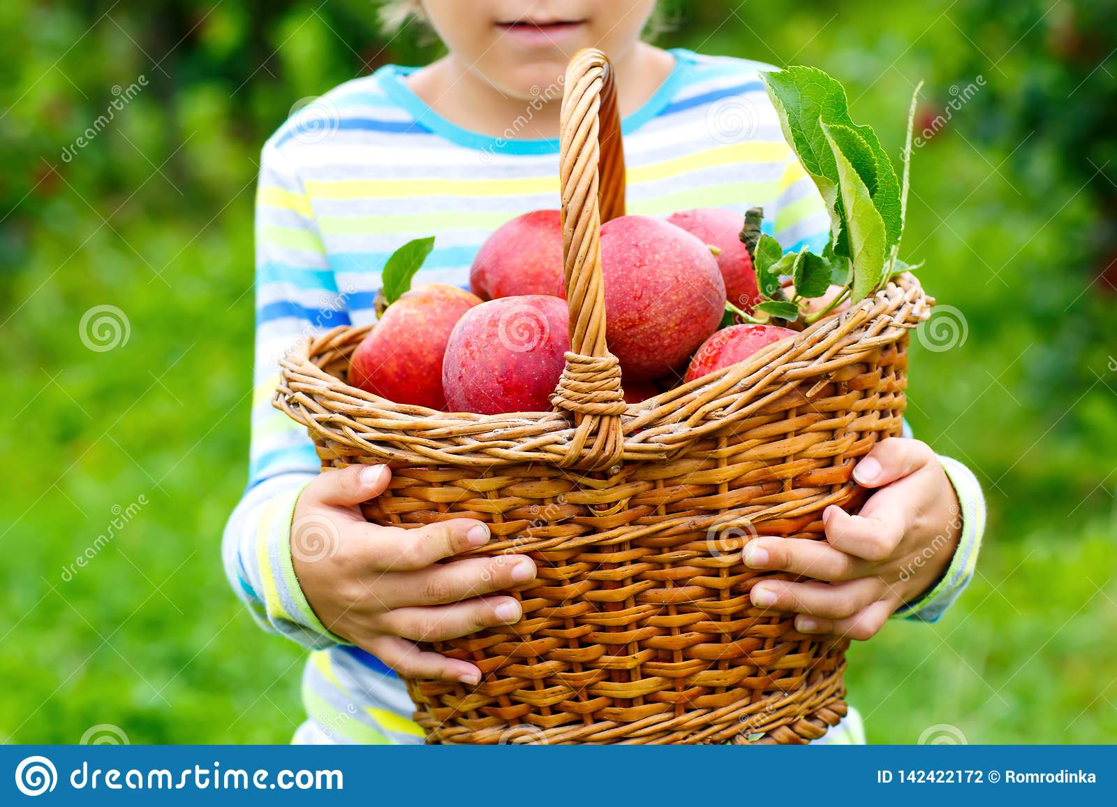 Close-up of basket holding by kid boy picking and eating red apples on organic farm, autumn outdoors. Funny little