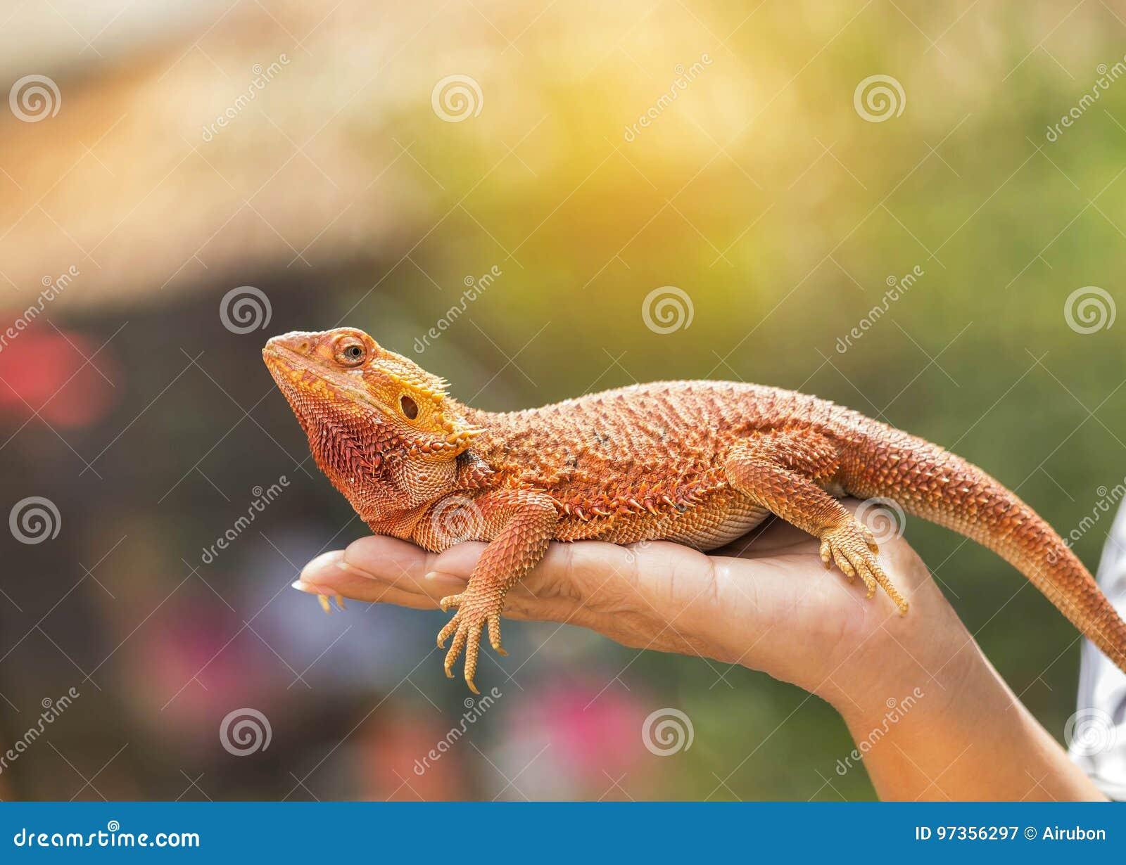 Download Close Up Bearded Dragon Pogona Vitticeps Australian Lizard On Hand Stock Image - Image of creeper, head: 97356297