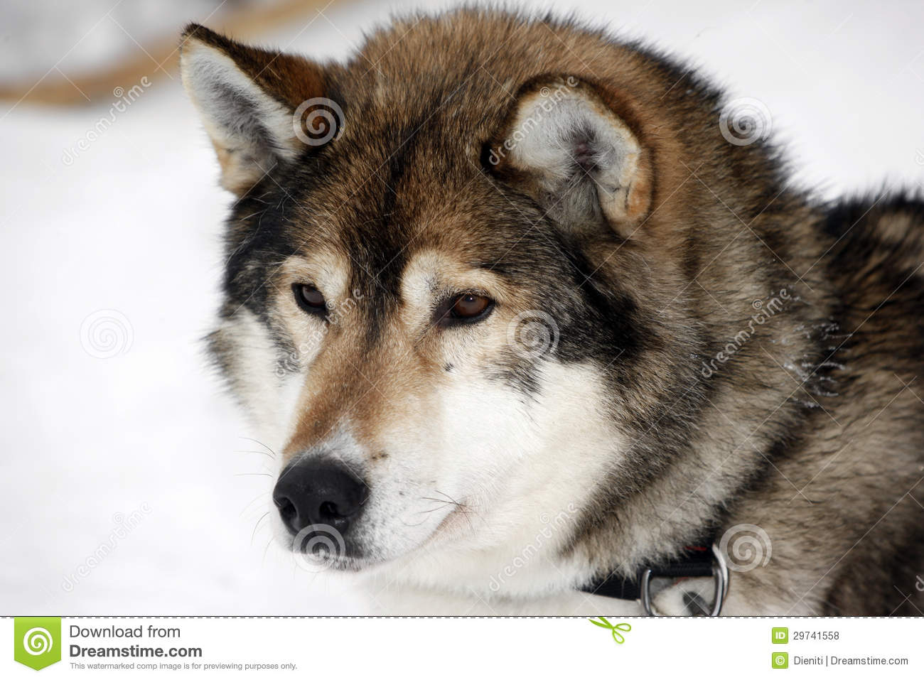 ... brown eyes in winter snow, wolf-like, Sled dog or sleigh dog, mushing