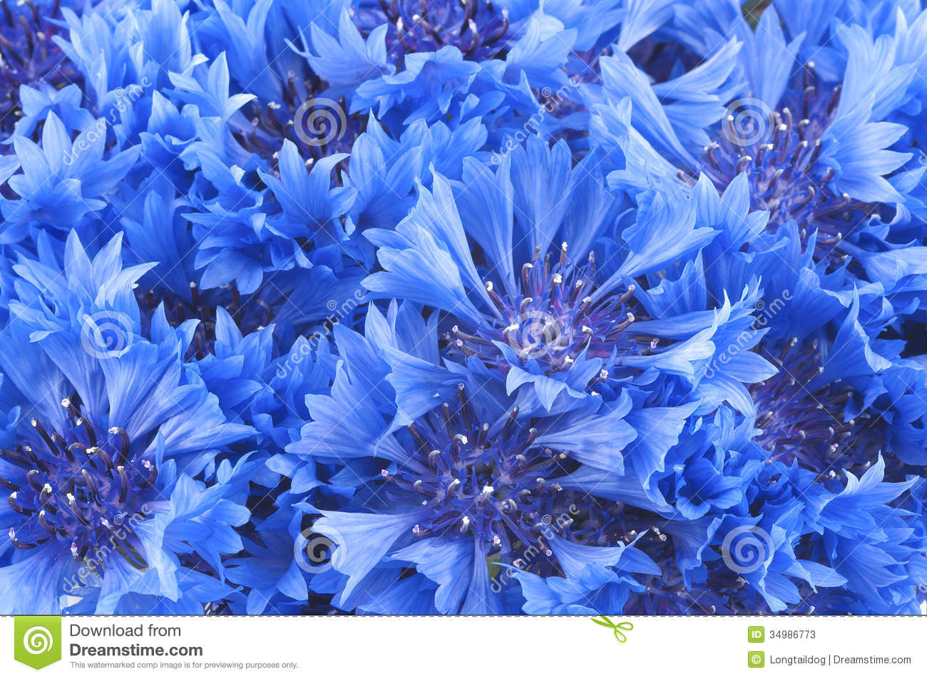 Close Up Of Beautiful Blue Flower Cornflower