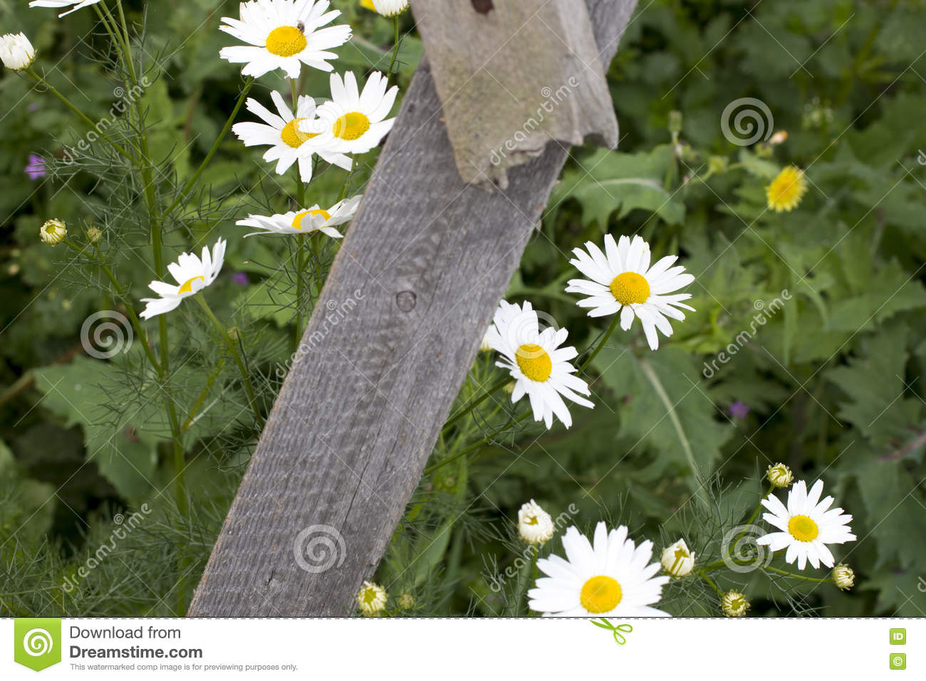 Close Up Beautiful Daisies Flowers Blooming At White Picket Fence In