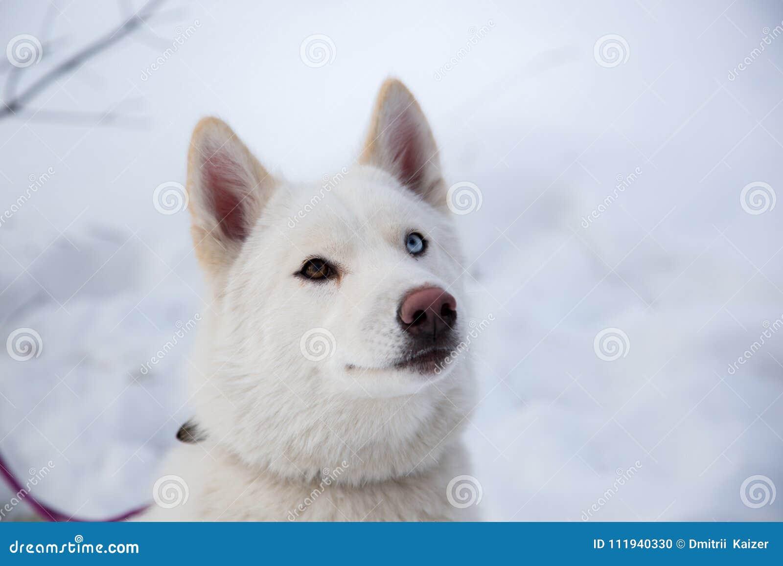 Close Up Beautiful Dog Huskie Stock Photo Image Of Arctic Blue